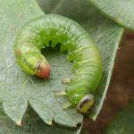 Pristiphora armata larva Credit John Grearson