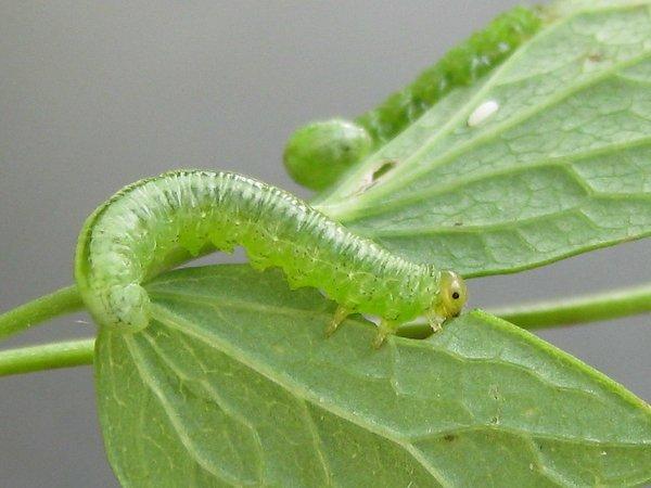 Pristiphora brevis larva Credit John Grearson