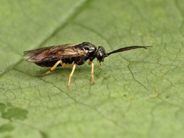 Pristiphora leucopus Credit John A Petyt
