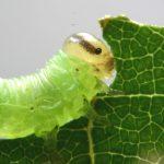 Pristiphora leucopus larva Credit John Grearson