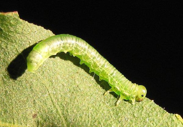 Pristiphora subbifida larva Credit John Grearson