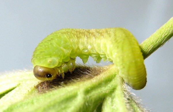 Tenthredo atra larva Credit John Grearson