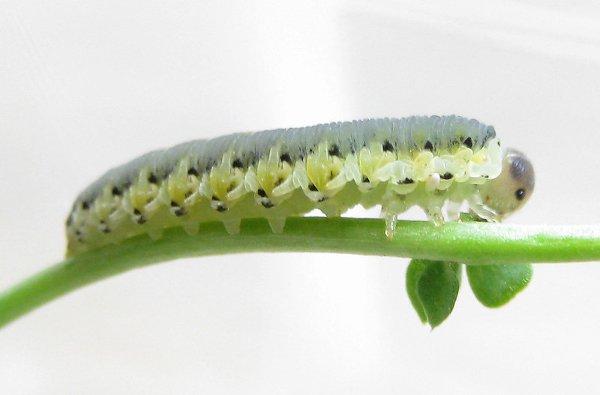 Tenthredo brevicornis larva Credit John Grearson