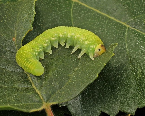 Trichiosoma lucorum larva Credit John A Petyt