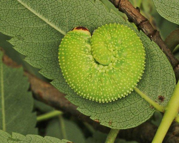 Trichiosoma sorbi larva Credit John A Petyt