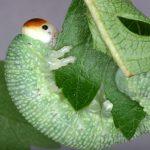 Trichiosoma tibiale final instar larva Credit John Grearson