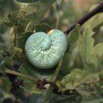 Trichiosoma tibiale larva Credit John A Petyt