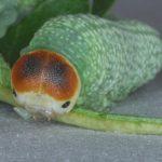 Trichiosoma tibiale larva Credit John Grearson