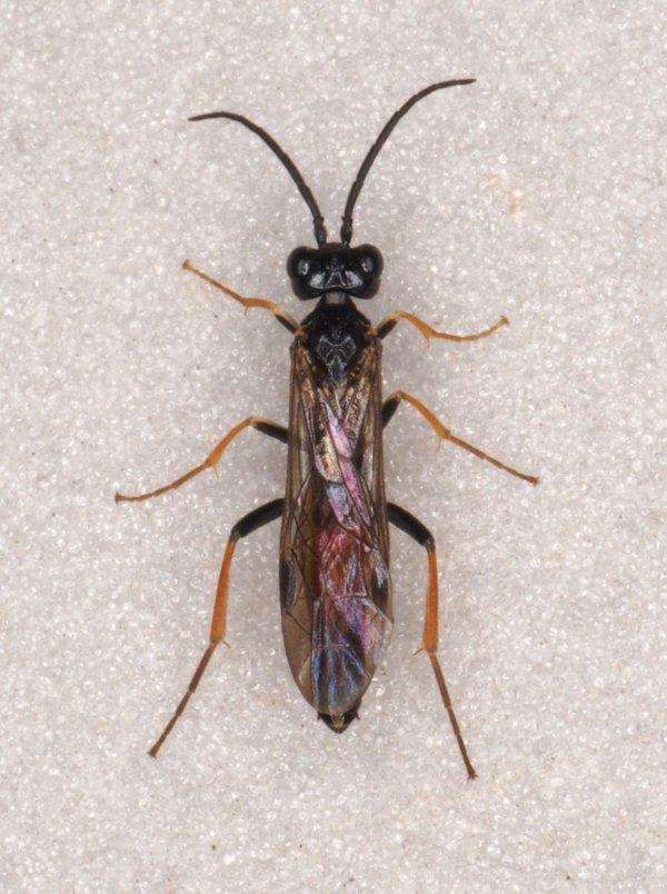 Allantus rufocinctus male Credit Andrew Green