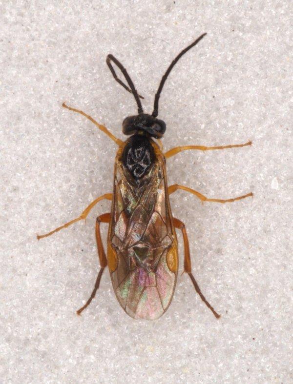 Euura myosotidis male Credit Andrew Green