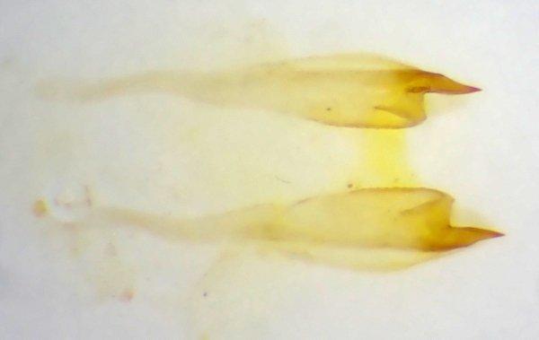 Euura myosotidis penis valve Credit Andrew Green