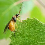 Pristiphora testacea female Credit Andy Musgrove