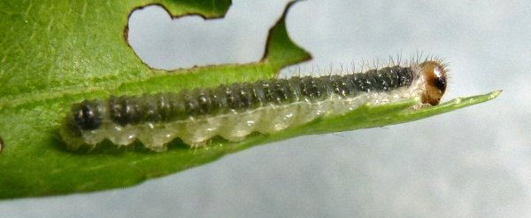 Cladius brullei larva late instar Credit Rob Edmunds