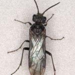 Dolerus niger female Credit Andrew Green