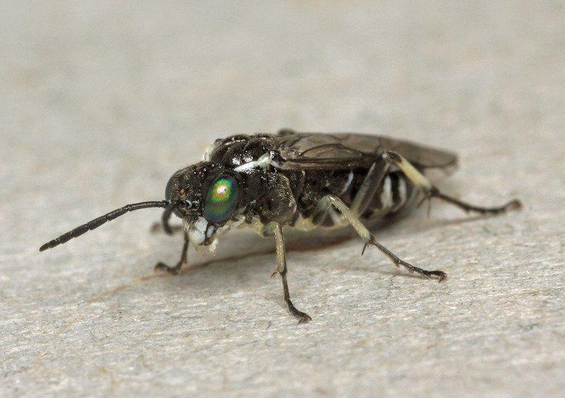 Macrophya albipuncta female Credit Nils-Uno Svensson
