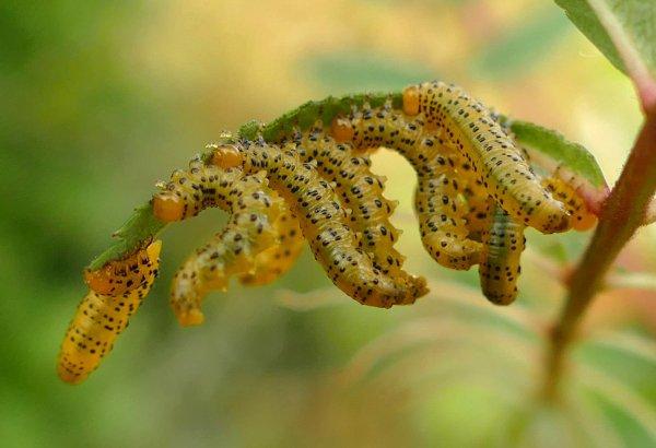 Pristiphora geniculata larvae early instar Credit Anne Crotty
