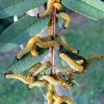 Pristiphora geniculata larvae late instar Credit Anne Crotty