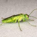 Rhogogaster chlorosoma male Credit Andrew Green