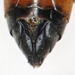 Tenthredopsis coquebertii hypopygium Credit Andrew Green