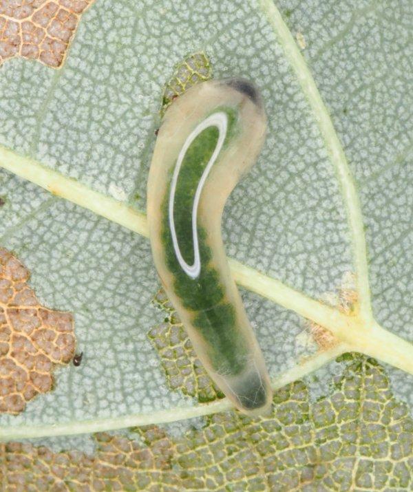 Caliroa annulipes larva Credit Andrew Green