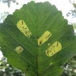 Fenusa dohrnii larval mine Credit Richard Bashford