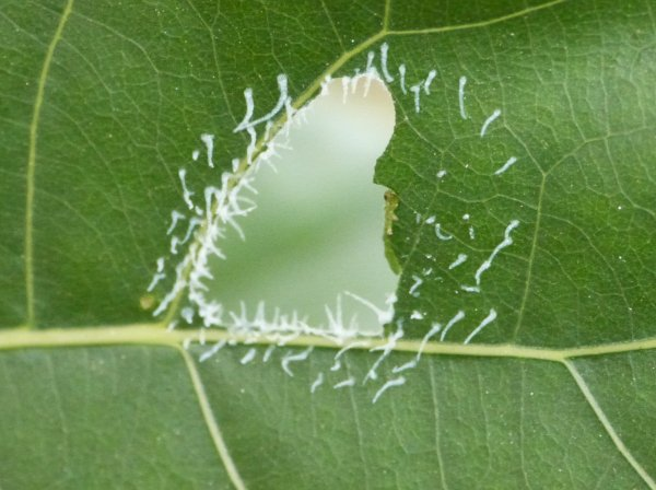 Stauronematus platyceras larva Credit John Lamin