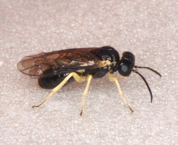 Aneugmenus coronatus female Credit Andrew Green