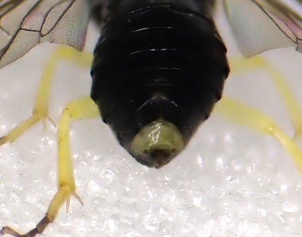 Aneugmenus coronatus female apical tergite Credit Andrew Green