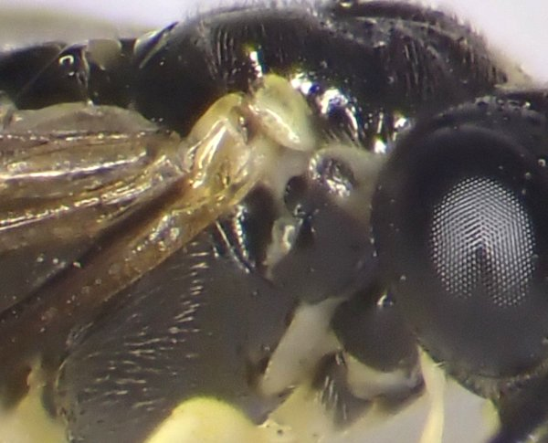 Aneugmenus coronatus female pronotum Credit Andrew Green