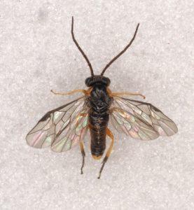 Pristiphora testacea male Credit Andrew Green