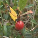 Euura collactanea larval gall on Salix repens Credit Ryan Clark