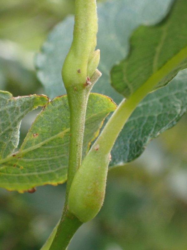 Euura venusta larval gall on Salix caprea Credit Seth Gibson