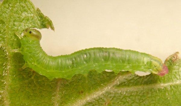 Pristiphora melanocarpa larva Credit Dave Gibbs