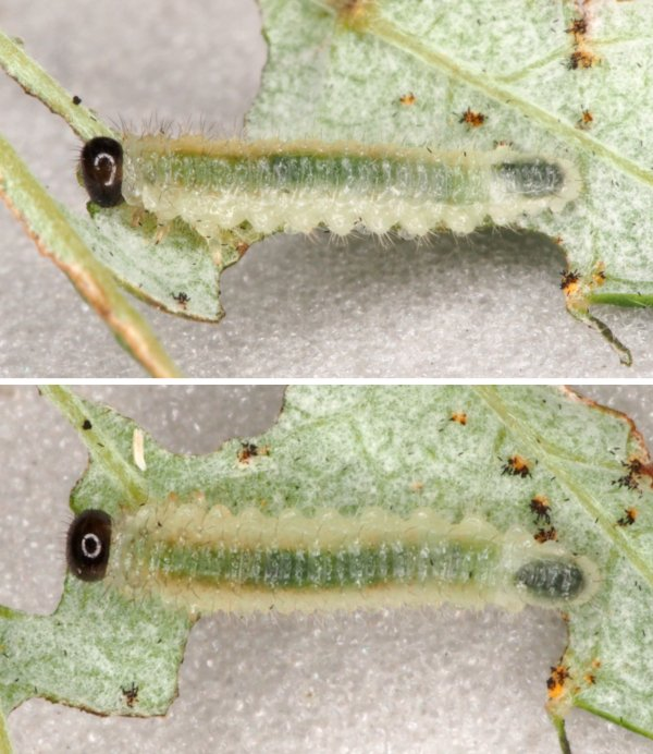 Cladius brullei middle instar on raspberry Credit Andrew Green