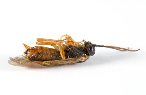 Dineura testaceipes female Credit Robin Sutton