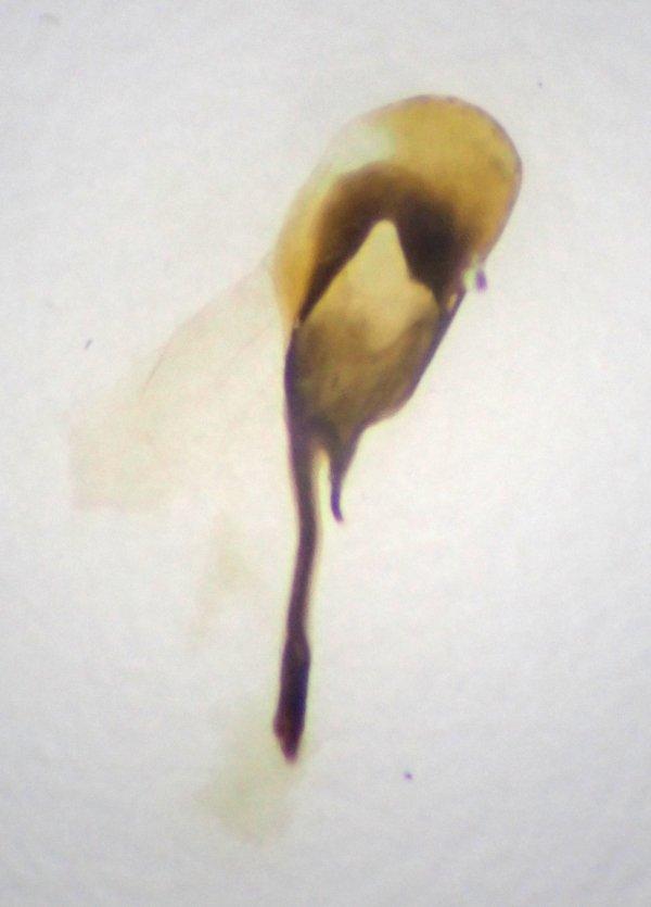 Macrophya alboannulata penis valve Credit Andrew Green