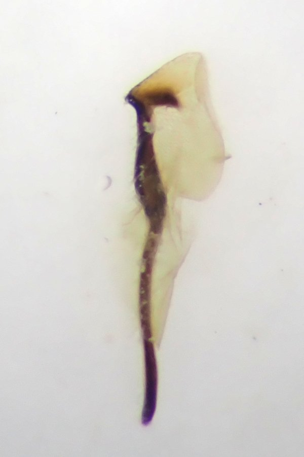 Tenthredo brevicornis penis valve (pair in cop) Credit Andrew Green