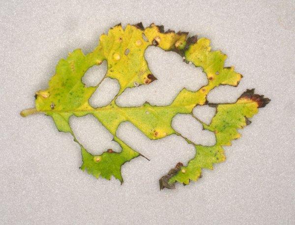 Cladius ulmi leaf damage Credit Andrew Green
