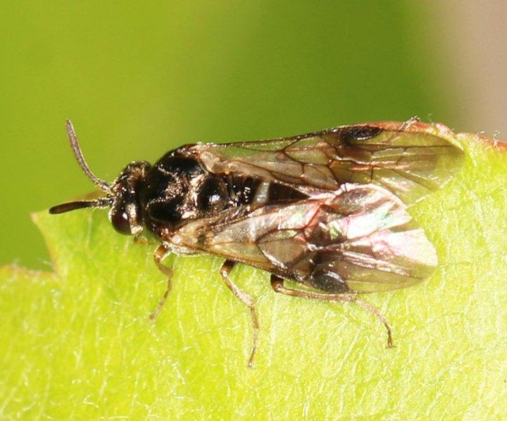 Sterictiphora geminata female Credit Martin Elkins