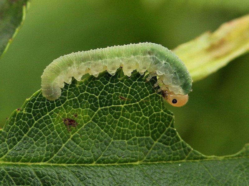 Allantus cinctus larva Credit John A Petyt