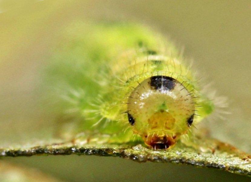 Cladius rufipes larva Credit John A Petyt