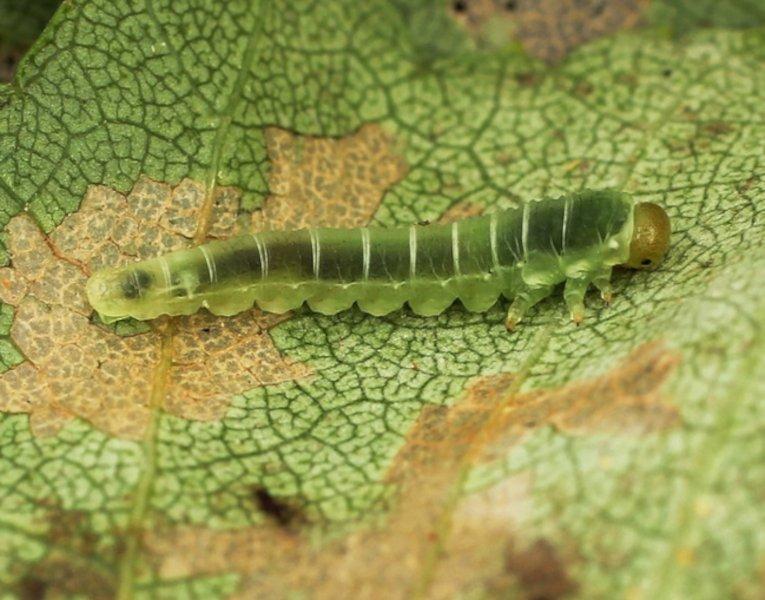 Dineura virididorsata larva Credit John A Petyt