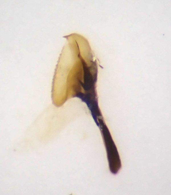 Empria sexpunctata male penis valve Credit Andrew Green