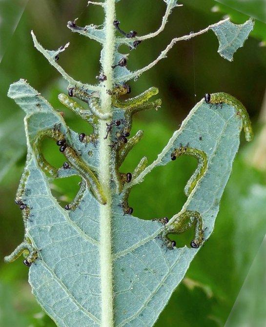 Euura miliaris early instar larvae Credit John A Petyt