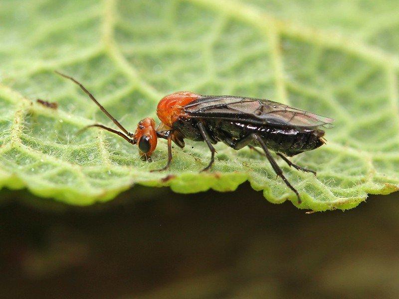 Hemichroa australis female Credit John A Petyt