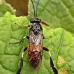 Nematus latipes female Credit John A Petyt