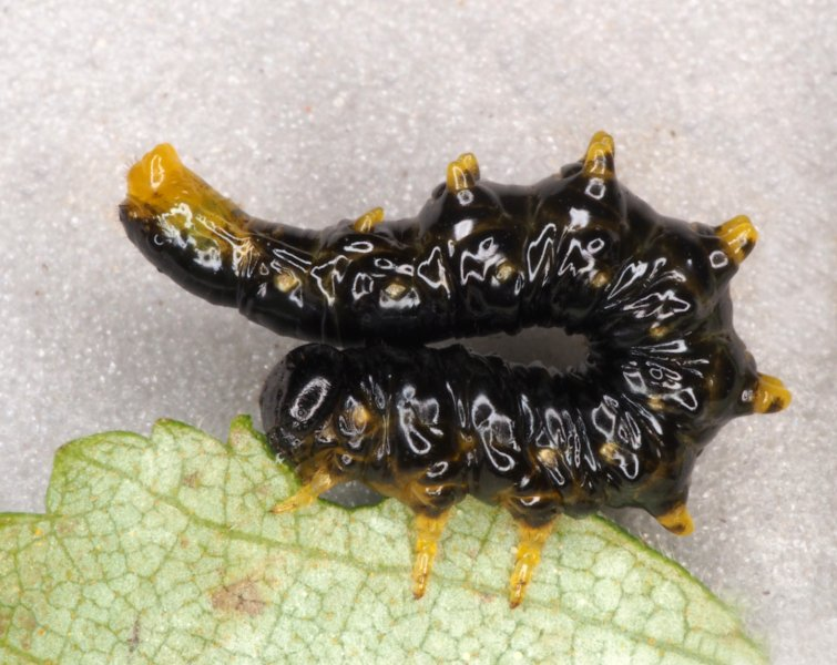 Nematus latipes larva Credit Andrew Green