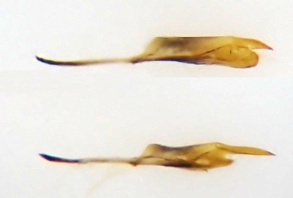 Cladius compressicornis male penis valve Credit Andrew Green