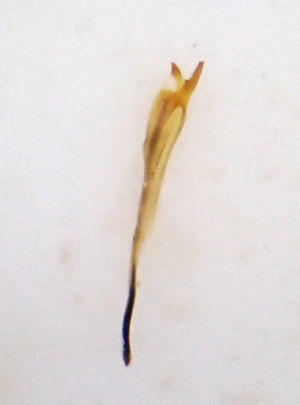 Cladius pilicornis male penis valve Credit Andrew Green