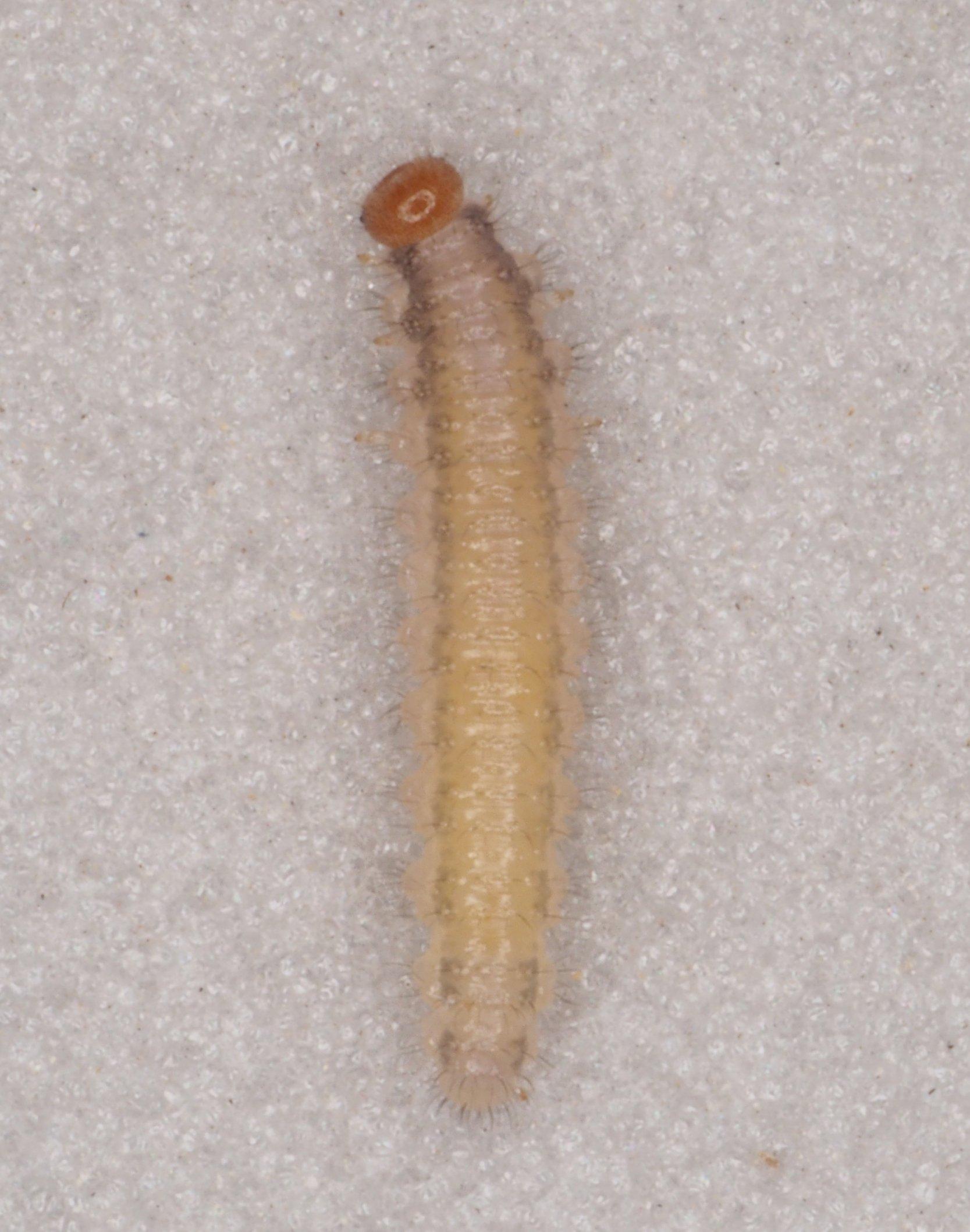 Cladius pectinicornis final instar larva Credit Andrew Green